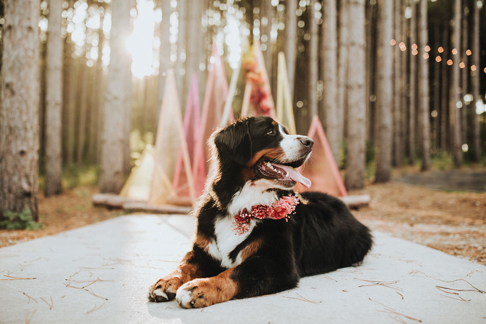 Wedding pup Denali sits patiently at Pinewood Weddings & Events with a floral collar by Studio C Floral.